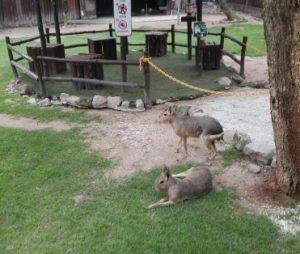 мара патагонский заяц
